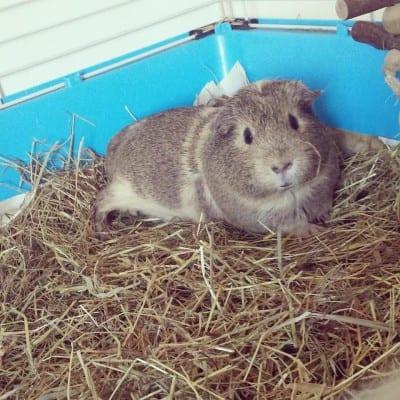 Emma's guinea pig Lillie