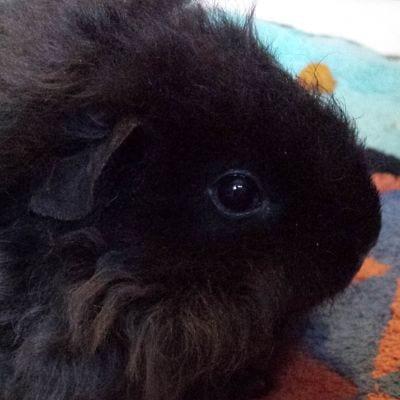 Emma's guinea pig Ruby