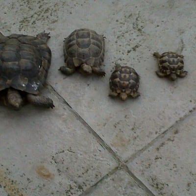 Jackie's tortoises